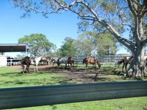 Unsere Pferde am Susan River